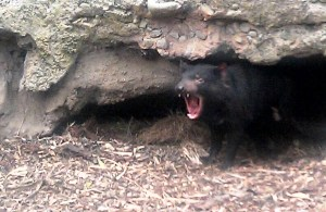 An open mouthed Tasmanian Devil at the Healesville Sanctuary